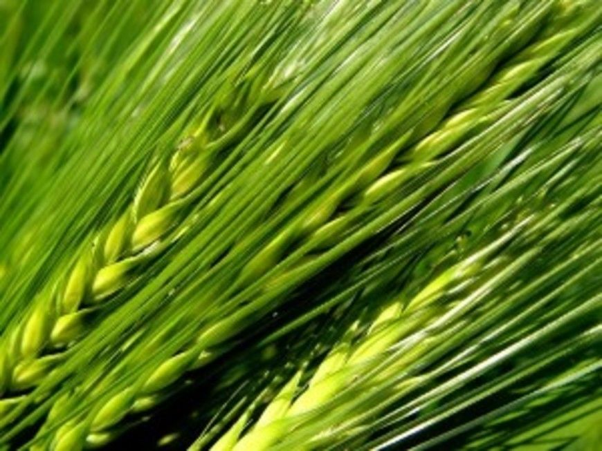 young green barley