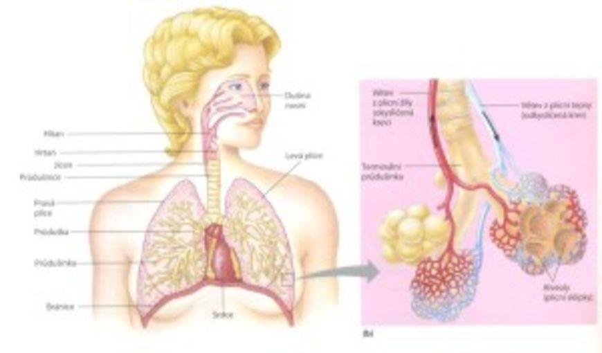 dýchací soustava1