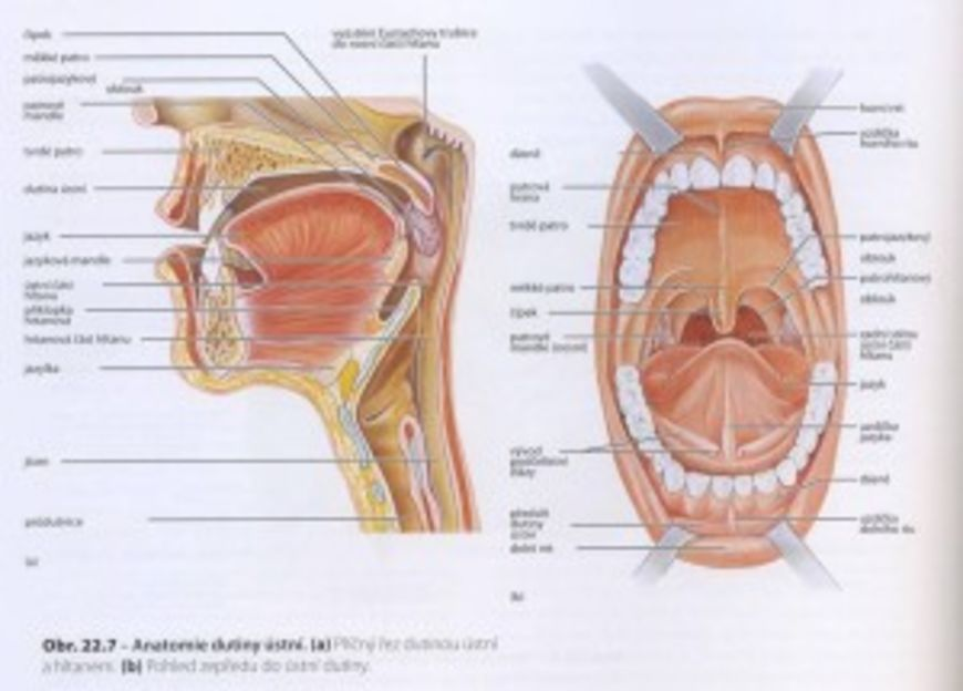 zuby a organy