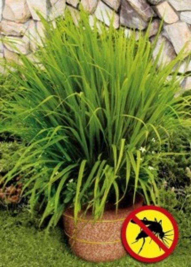 citronova trava proti komarum